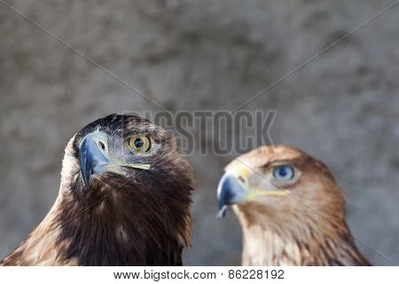 portrait of a golden eagle against the rock