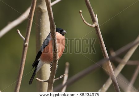 Pyrrhula pyrrhula, eurasian bullfinch perched on a branch, Vosges, France