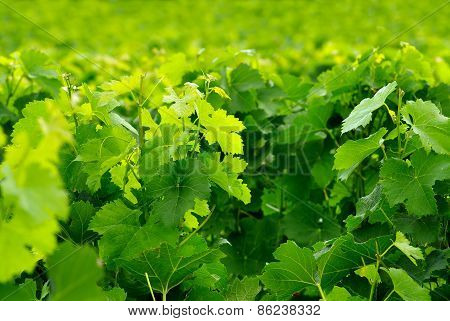 Grape Leaves In A Sunny Vineyard