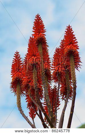 Blooming Aloe Vera