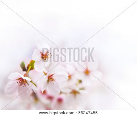 Spring cherry blossom with near white background.
