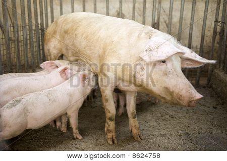 Pig Feeding Her Piglets