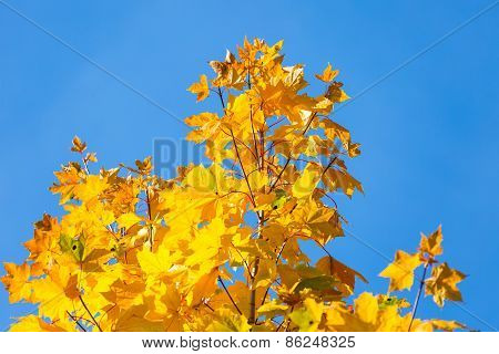 Autumn Leaves On Branch Agains Sky