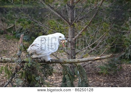 Lunchtime Snowy Owl