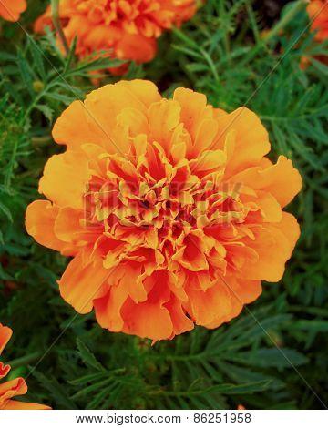 one marigold flower natural background