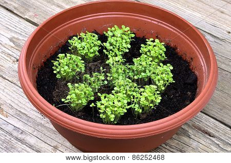 Young Marjoram In A Brown Pot