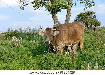 Mountain Cow