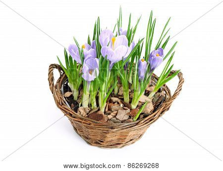 Several Purple Crocuses  In Decorative Basket