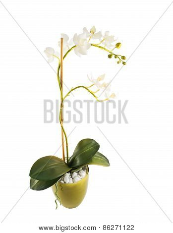 White orchidaceae orchid flower isolated