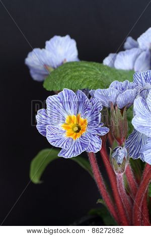 Blue Striped Primrose