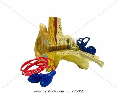 Anatomical Model Ear And Ear Plugs
