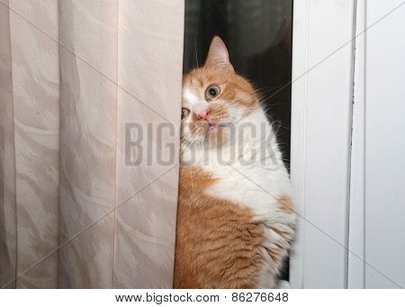 Thick Red And White Cat Hiding Behind Curtains