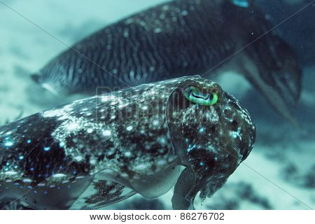 Female and Male Cuttlefish