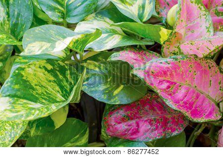 Pothos Leaves Background