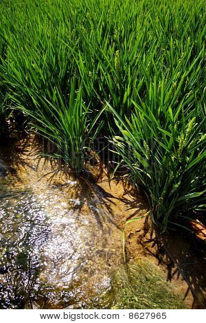 Rice At The Edge Of A Paddy Field