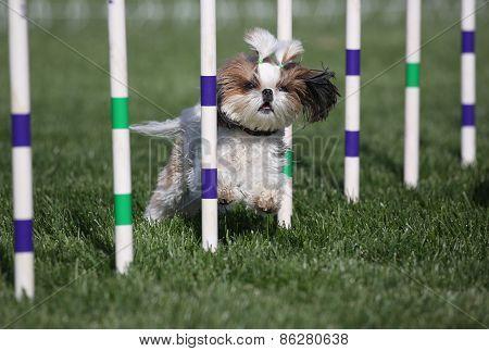Lhaso Apso dog running agility