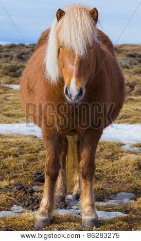 Pregnant Icelandic Horse