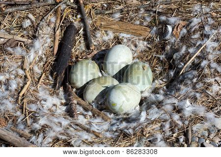 Five Eggs Of A Mute Swan In A Nest