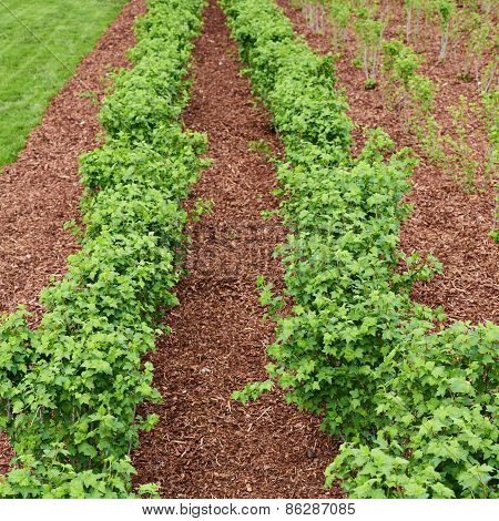 Accurate rows of currant bush seedlings
