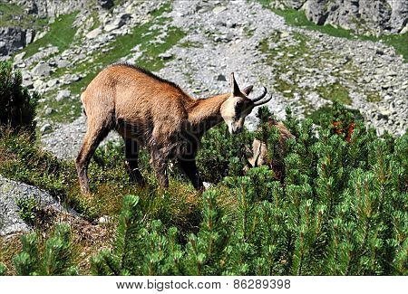 Animals - chamois in the mountains