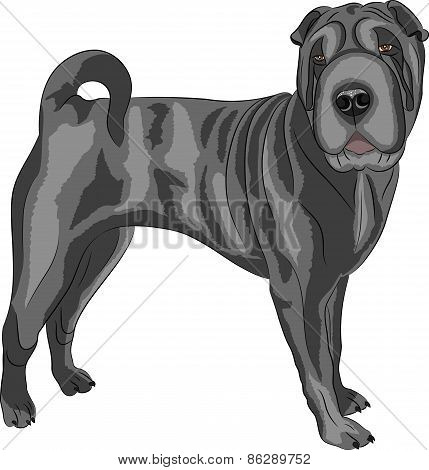 Vector. Shar Pei Dog Breed.