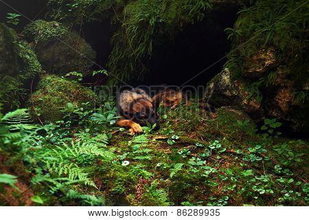 German Shepherd Sleeping,  Sheep-dog Laying On The Stone