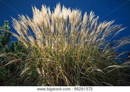Light-flooded blooming ornamental grass