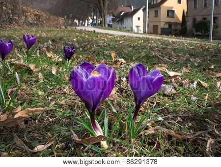 Purple crocuses in a small town