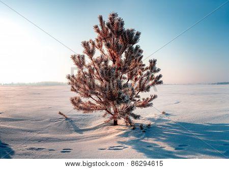 Frozen Tree On Winter Field And Blue Sky