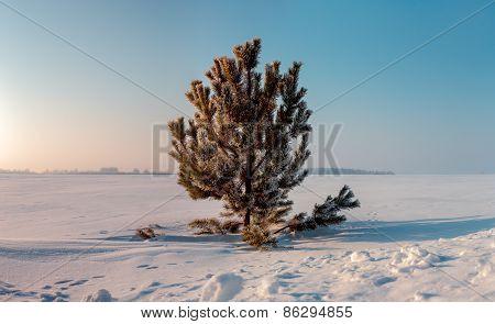 Frozen Pine On Winter Field And Blue Sky. Sunrise