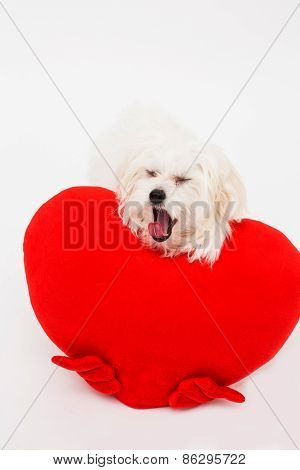 Bichon puppy dog in studio