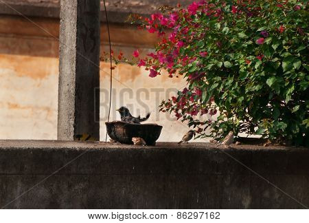 Bird Bathes In Plate On The Old Fence