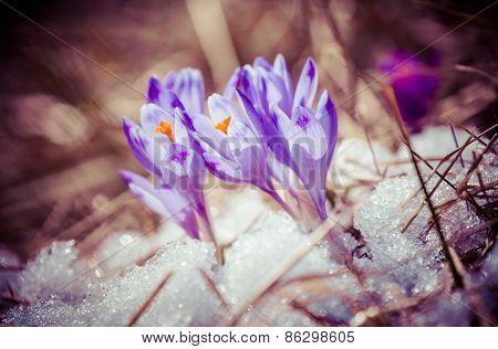 Violet flower - Crocus