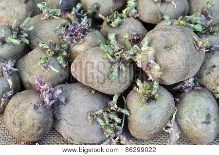 Close-up Of Germinating Potatoes