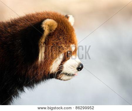 Red Panda XII