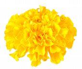foto of marigold  - yellow marigold flower isolated on white background - JPG