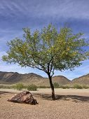 image of mesquite  - Flowering Mesquite tree in Arizona mountain desert backyard in spring time - JPG