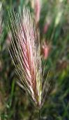 pic of spike  - Closeup of grass with bushy spikes and pink coloring - JPG