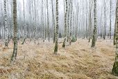 picture of birching  - Frosty birch forest in winter - JPG