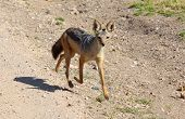 stock photo of jackal  - A Little jackal running on a sandy street - JPG