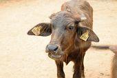 pic of carabao  - This a photo of Murrah buffalo in farm - JPG