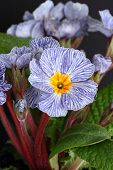picture of primrose  - A Blue striped primrose showing flowers and leaves - JPG