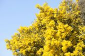 image of mimosa  - Mimosa tree with yellow flowers in March - JPG
