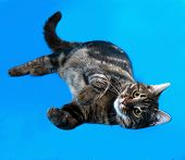 picture of blue tabby  - Tabby kitten teenager lying on blue background - JPG