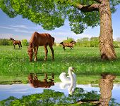 picture of herd horses  - Herd of horses in a spring landscape in the foreground swan on a water level - JPG