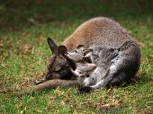 pic of wallabies  - A Wallaby mother with her baby licking her ear - JPG