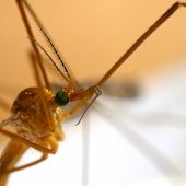 picture of mosquito  - mosquito portrait - JPG