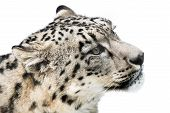 pic of snow-leopard  - Profile Portrait of Snow Leopard in Snow