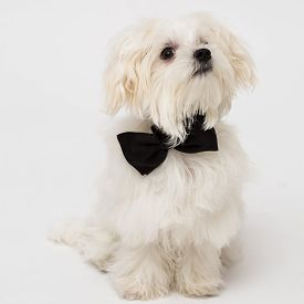 pic of maltese  - White Maltese dog with black bow and on white background - JPG
