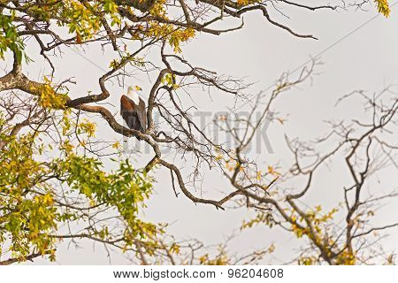 African Fish Eagle On The Tree